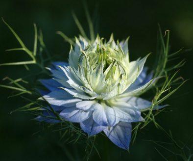 Cvijet crnog kima